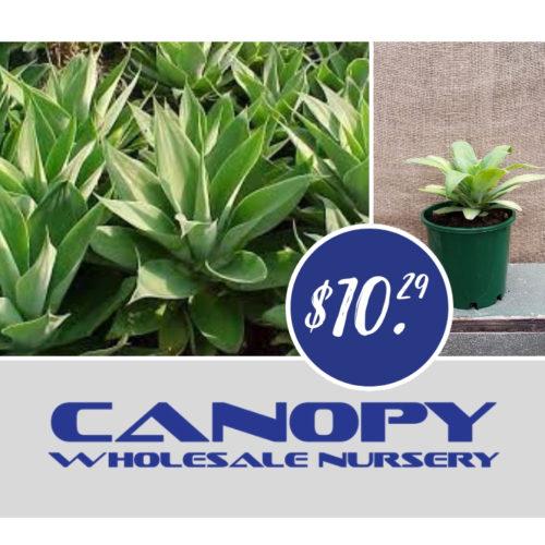 succulents Archives - Canopy Wholesale Nursery