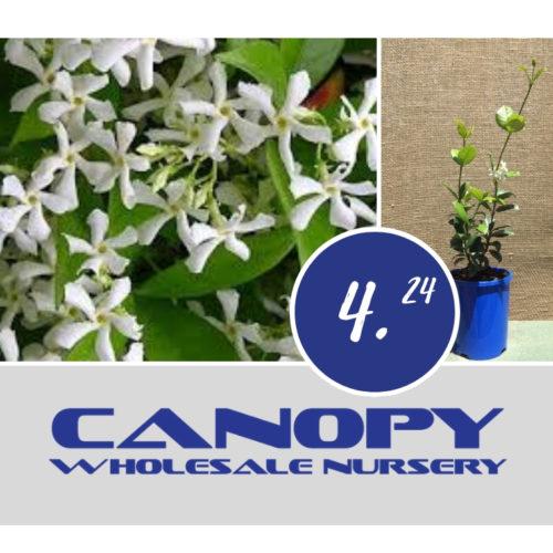 brisbane plants Archives - Page 34 of 37 - Canopy Wholesale